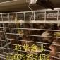 海兰褐厂家,蛋鸡批发,欲购从速